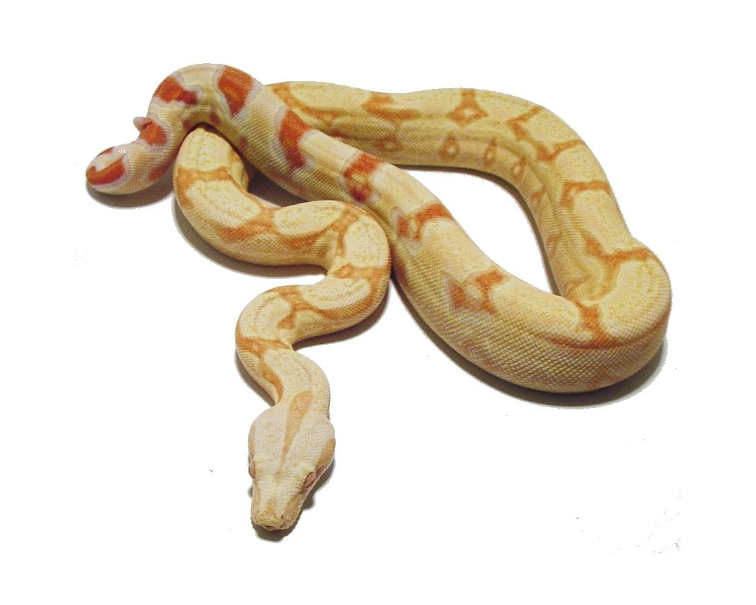 Albino Boa #2-a